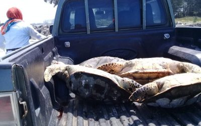 Negara gagal mengungkap kematian 28 ekor penyu di Pantai Teluk Sepang Bengkulu