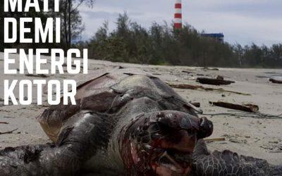 Kematian 28 penyu dan limbah cair PLTU batu bara Bengkulu